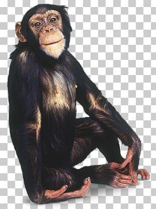 Chimpanzee Gorilla Primate Monkey PNG