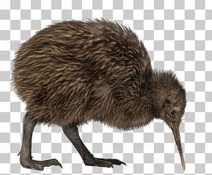 Bird North Island Brown Kiwi Great Spotted Kiwi Little Spotted Kiwi PNG