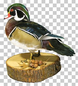 Mallard Duck Beak Animal PNG