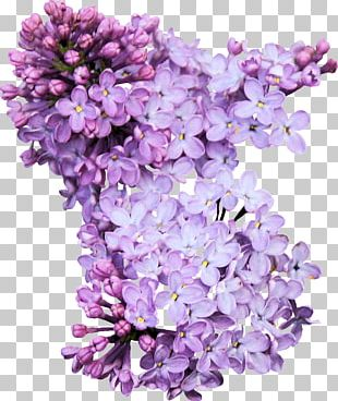 Lilac Photography PNG