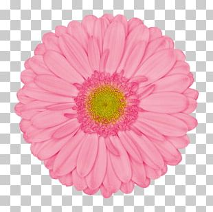 Transvaal Daisy Pink Common Daisy Flower Stock Photography PNG