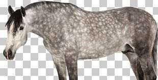 Andalusian Horse Mane Mustang Pony Stallion PNG