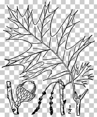 Quercus Velutina Friendship Oak Twig Swamp Spanish Oak Tree PNG