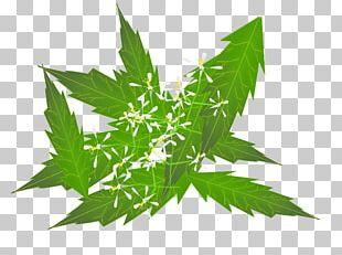 Neem Tree Neem Oil Herb Ayurveda PNG