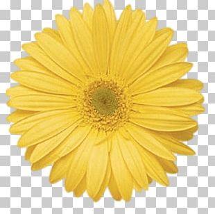 Transvaal Daisy Flower Common Daisy Yellow Stock Photography PNG