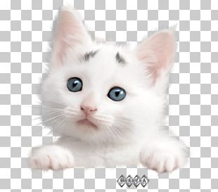 Burmilla Turkish Van Turkish Angora American Wirehair European Shorthair PNG