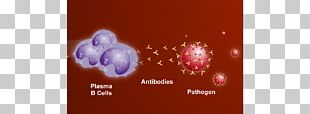 Plasma Cell B Cell Antibody White Blood Cell PNG