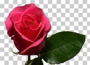 Garden Roses Cabbage Rose Floribunda Pink Flower PNG