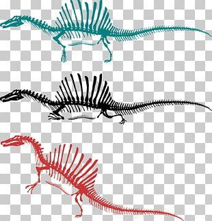 Spinosaurus Tyrannosaurus Skeleton Bipedalism Dinosaur PNG