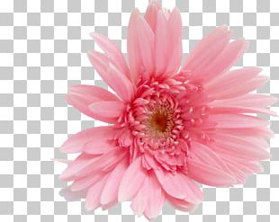 Transvaal Daisy Cut Flowers Stock Photography Rose PNG