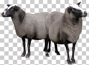 Sheep Goat PNG