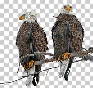 Bald Eagle Bird Of Prey Golden Eagle PNG