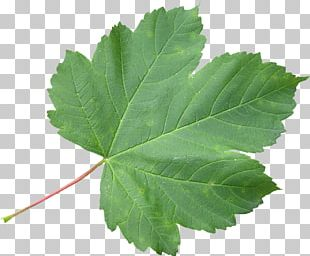 Japanese Maple Sugar Maple Maple Leaf Green PNG