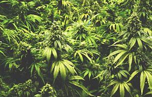 Medical Cannabis Legality Of Cannabis By U.S. Jurisdiction Decriminalization PNG