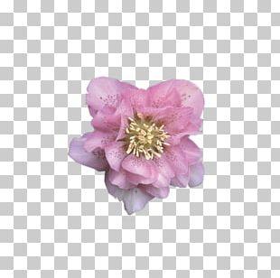 Rose Perennial Plant Peony Cherry Blossom PNG