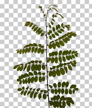 Twig Leaf Acacia Branch Plants PNG