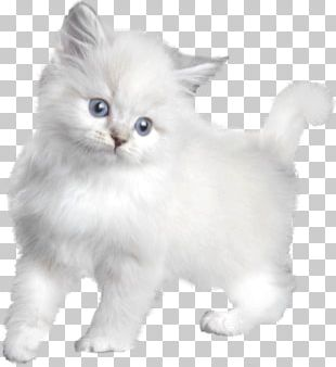 Turkish Angora Kitten Asian Semi-longhair Persian Cat Burmilla PNG