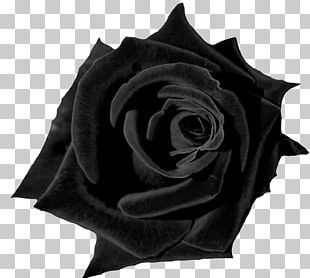 Black Rose Desktop Flower Red PNG