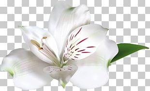 White Rose Amaryllis Belladonna PNG