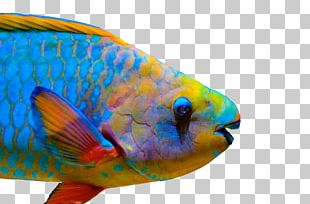 Queen Parrotfish Coral Reef Fish Midnight Parrotfish Tricolor Parrotfish PNG