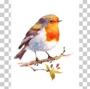 Bird Watercolor Painting Drawing American Robin PNG