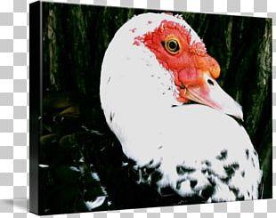 Rooster Water Bird Beak Chicken As Food PNG