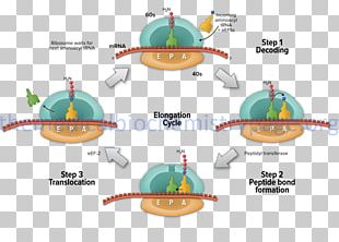 Translation Elongation Protein Biosynthesis Transcription RNA PNG