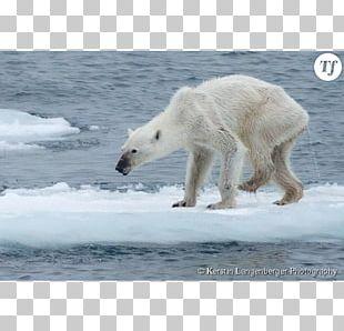 Baby Polar Bears Arctic Eurasian Brown Bear Walrus PNG