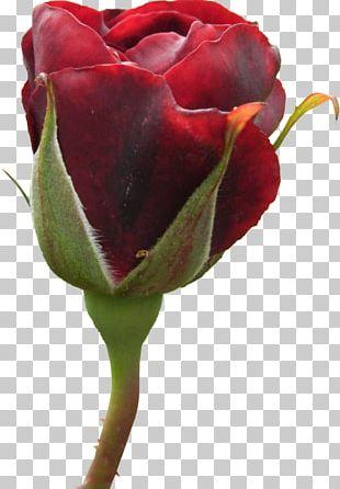 Garden Roses Cabbage Rose Floribunda Cut Flowers Bud PNG