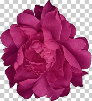 Garden Roses Cabbage Rose Peony Cut Flowers Petal PNG