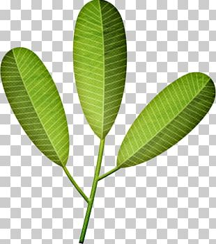 Peppermint Drawing Plant PNG, Clipart, Aglaia Odorata