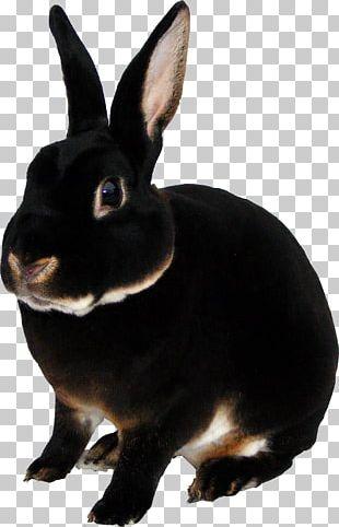 Domestic Rabbit Mini Rex Rex Rabbit Otter Tan Rabbit PNG