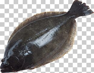 Deep Sea Fish European Plaice Flatfish PNG