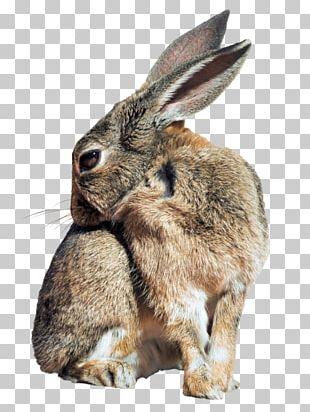 Holland Lop Hare Easter Bunny Netherland Dwarf Rabbit Rex Rabbit PNG