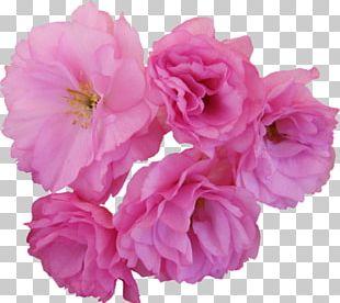 Flower Cherry Blossom Centifolia Roses Garden Roses PNG