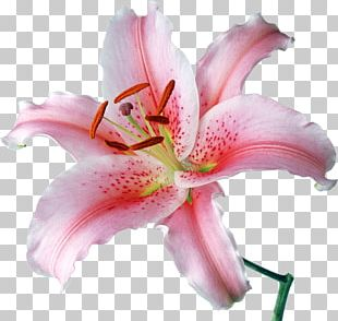 Desktop Lilium 'Stargazer' Flower Stock Photography PNG