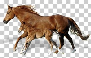Foal Mare Mustang Andalusian Horse Horses PNG