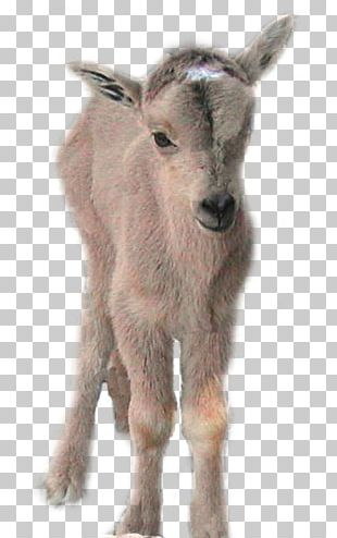 Goat Gray Wolf Barbary Sheep Cattle PNG