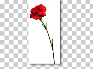 Carnation Floral Design Cut Flowers Rose Family Plant Stem PNG