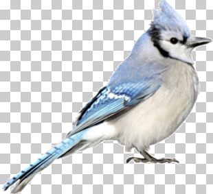 Blue Jay Cobalt Blue Chickadee Beak PNG