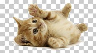 Kitten Desktop Siberian Cat Dog Cat S PNG
