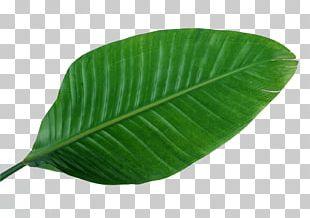 Musa Basjoo Leaf Green Banana PNG