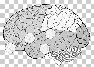 Lobes Of The Brain Frontal Lobe Parietal Lobe Temporal Lobe PNG
