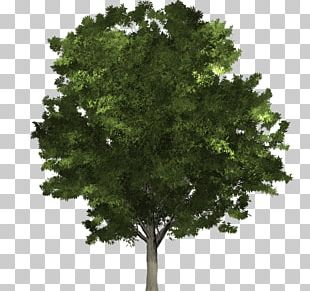 Fraxinus Pennsylvanica Tree Structure Northern Red Oak Lindens PNG
