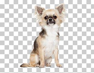 Pomeranian Chihuahua Bichon Frise Maltese Dog Yorkshire Terrier PNG