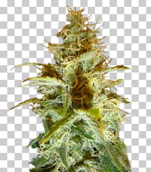 Cannabis Cup White Widow Cannabis Sativa Seed PNG