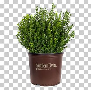 Buxus Microphylla Shrub Garden Plant Hedge PNG
