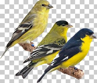 Domestic Canary American Sparrows Beak Fauna European Goldfinch PNG