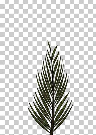 Pinus Palustris Leaf Tree Arecaceae Drawing PNG