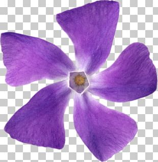 Violet Petal Portable Network Graphics Flower Mulberry PNG